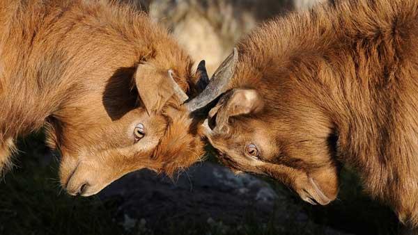 Locking horns