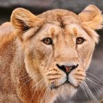 Photo of a Lion