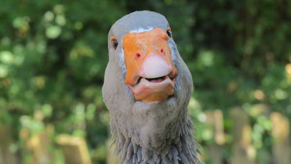 Confused Goose