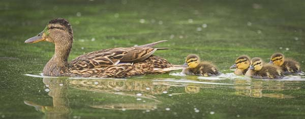 Supporting image - ducks